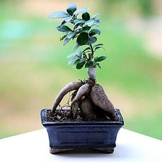 Marvellous Ficus Microcarpa ginseng bonsai  Kahramanmaraş yurtiçi ve yurtdışı çiçek siparişi