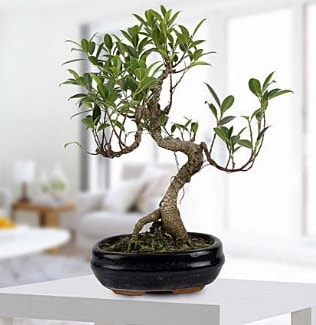 Gorgeous Ficus S shaped japon bonsai  Kahramanmaraş çiçek siparişi sitesi