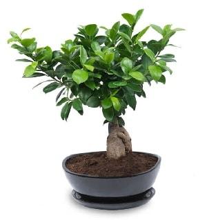 Ginseng bonsai ağacı özel ithal ürün  Kahramanmaraş çiçek mağazası , çiçekçi adresleri