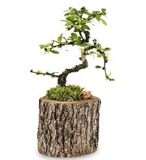 Doğal kütükte S bonsai ağacı  Kahramanmaraş uluslararası çiçek gönderme