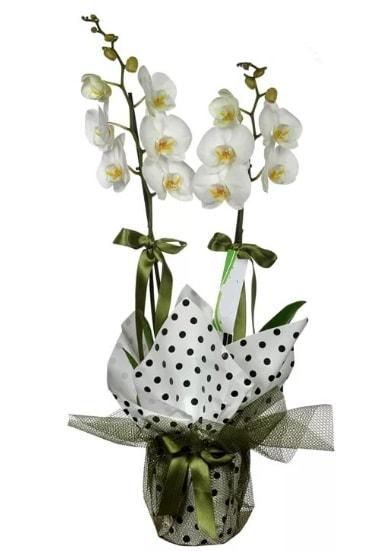 Çift Dallı Beyaz Orkide  Kahramanmaraş çiçek yolla