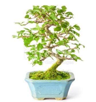 S zerkova bonsai kısa süreliğine  Kahramanmaraş internetten çiçek siparişi