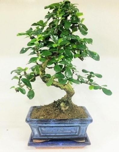 S Bonsai japon ağacı bitkisi  Kahramanmaraş çiçek gönderme sitemiz güvenlidir