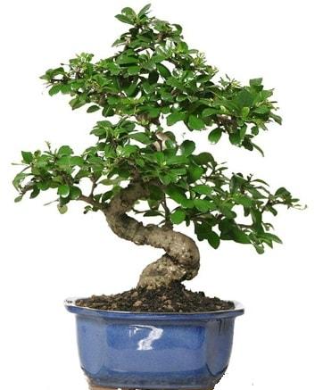 21 ile 25 cm arası özel S bonsai japon ağacı  Kahramanmaraş cicekciler , cicek siparisi