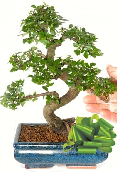 Yaklaşık 25 cm boyutlarında S bonsai  Kahramanmaraş çiçek servisi , çiçekçi adresleri