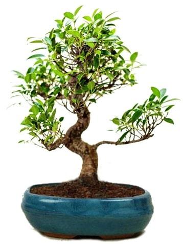 25 cm ile 30 cm aralığında Ficus S bonsai  Kahramanmaraş çiçek siparişi vermek