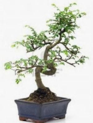 S gövde bonsai minyatür ağaç japon ağacı  Kahramanmaraş uluslararası çiçek gönderme