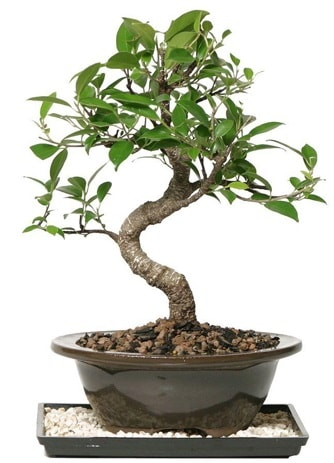 Altın kalite Ficus S bonsai  Kahramanmaraş cicekciler , cicek siparisi  Süper Kalite