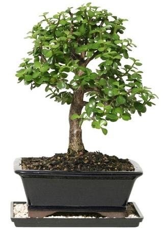 15 cm civarı Zerkova bonsai bitkisi  Kahramanmaraş çiçek servisi , çiçekçi adresleri