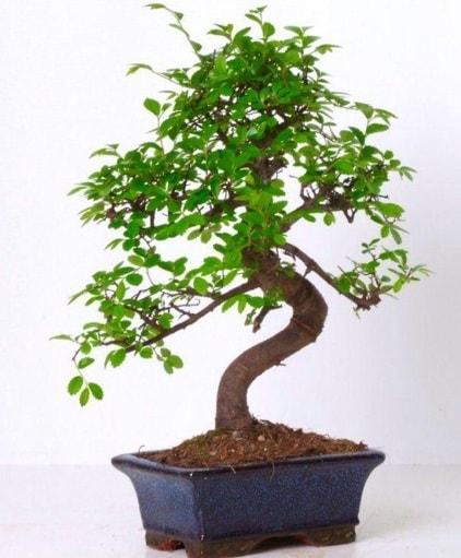 S gövdeli bonsai minyatür ağaç japon ağacı  Kahramanmaraş çiçek siparişi vermek