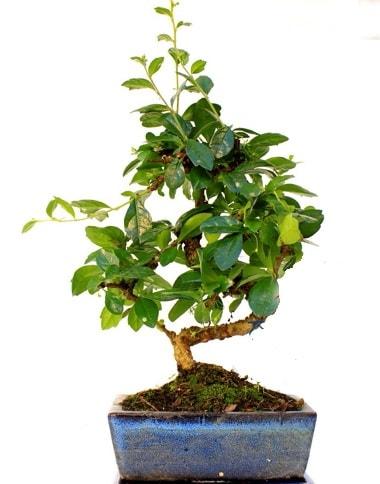S gövdeli carmina bonsai ağacı  Kahramanmaraş online çiçek gönderme sipariş  Minyatür ağaç