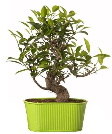 Ficus S gövdeli muhteşem bonsai  Kahramanmaraş çiçek servisi , çiçekçi adresleri