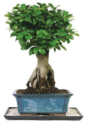 Bonsai Ginsing Grafted Ficus Bonsai  Kahramanmaraş online çiçek gönderme sipariş