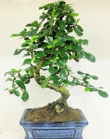 Zelkova S gövdeli Minyatür ağaç Bonzai  Kahramanmaraş cicek , cicekci