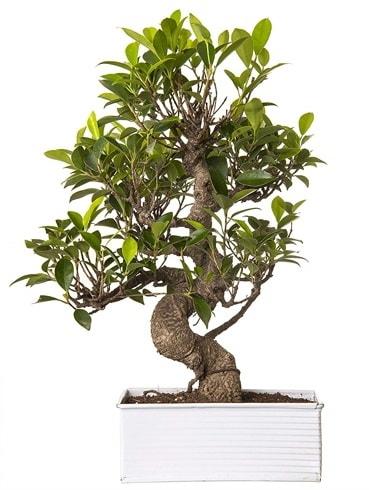 Exotic Green S Gövde 6 Year Ficus Bonsai  Kahramanmaraş çiçek siparişi vermek