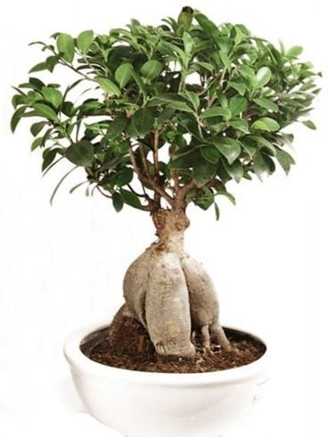 Ginseng bonsai japon ağacı ficus ginseng  Kahramanmaraş internetten çiçek siparişi